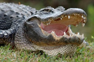 Alligator with it's mouth open